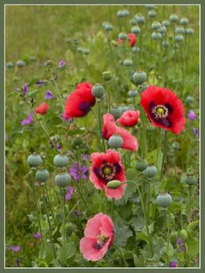 English wild flowers with poppies