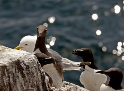 Guillemots and a Kittiwake on Isle of May