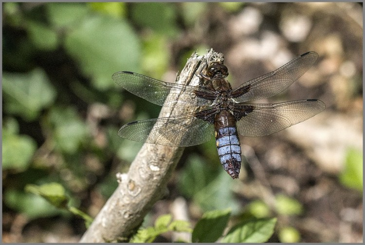 broad bodied chaser 1000pixels