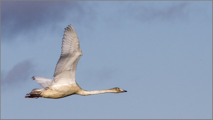whooper flying 1