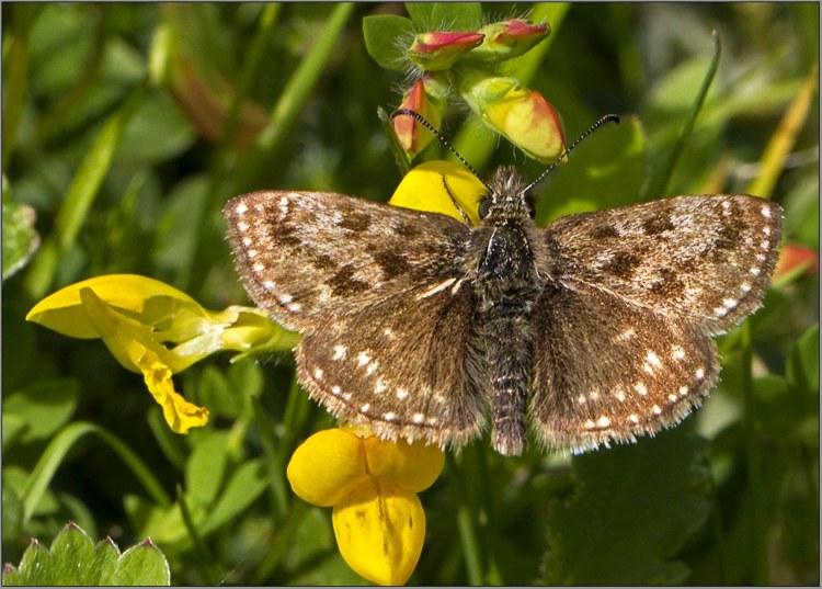 dingy skipper UK butterfly