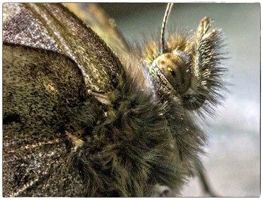 Pollen on Butterfly's Eye