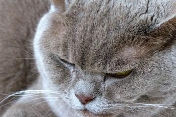 Misty Monday Macro Cat feline British Shorthair