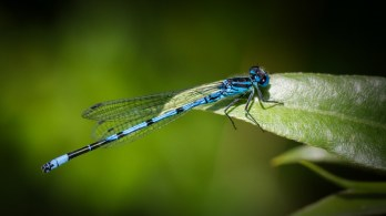 Azure Red Damselfly Macro at Brockholes