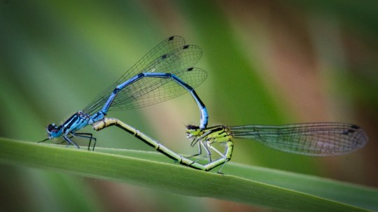 Azure Damselflies macro at Brockholes