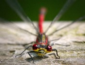 Large Red Damselfly Macro at Brockholes