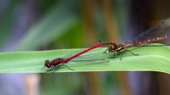 Large Red Damselflies macro at Brockholes