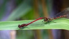 Large Red Damselflies macro at Brockholes