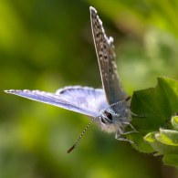 Common Blue butterfly macro at Brockholes
