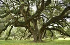 Louisiana Live Oaks
