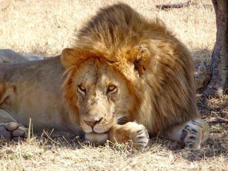 A male Lion in the Masai Mara