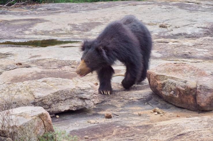 Sloth Bear in Yala National Park, Sri Lanka