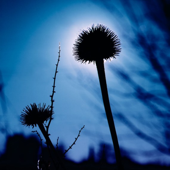 ©KEN SHUNG 'FLORA SERIES 4'.Color-Close up of dandelions,silhouetted against a vivid blue sky