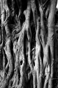 STRANGLER TREE© JASON FLORIO. BW close up of trunk and roots, Gambia, West Africa