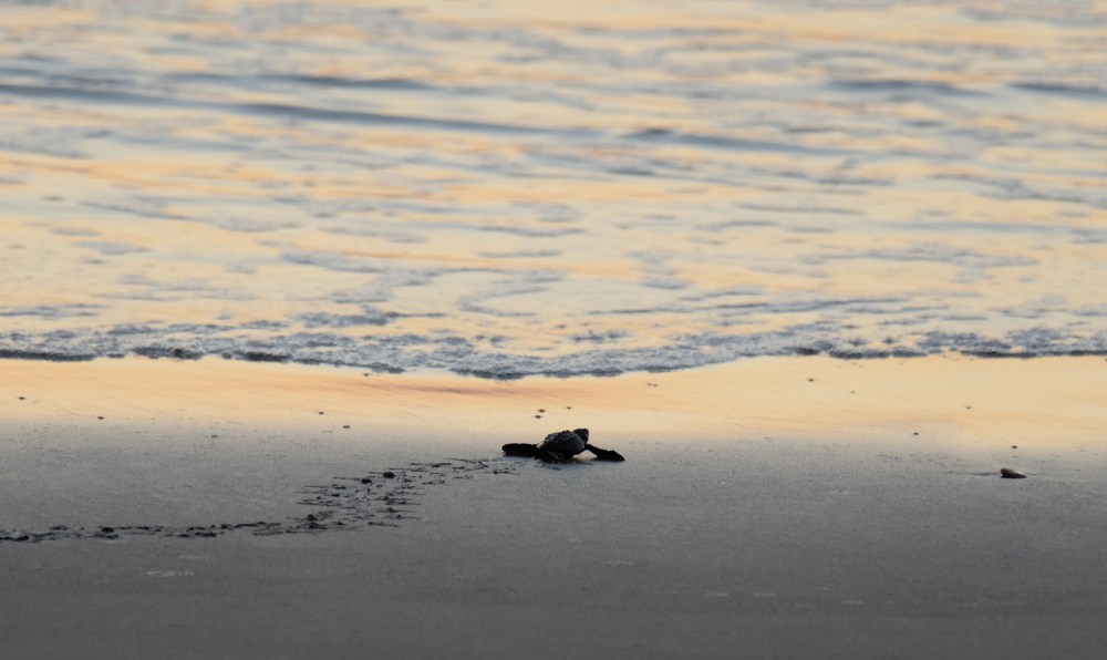 A baby turtle reaches the sea
