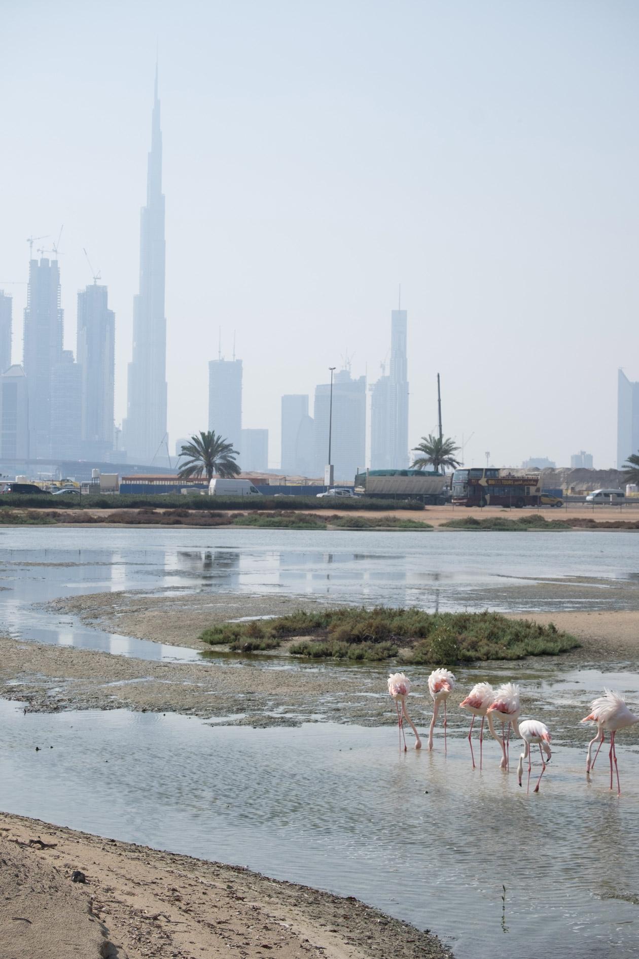 Flamingos at the Ras Al Khor wildlife sanctuary in Dubai, with the Burj Khalifa in the background