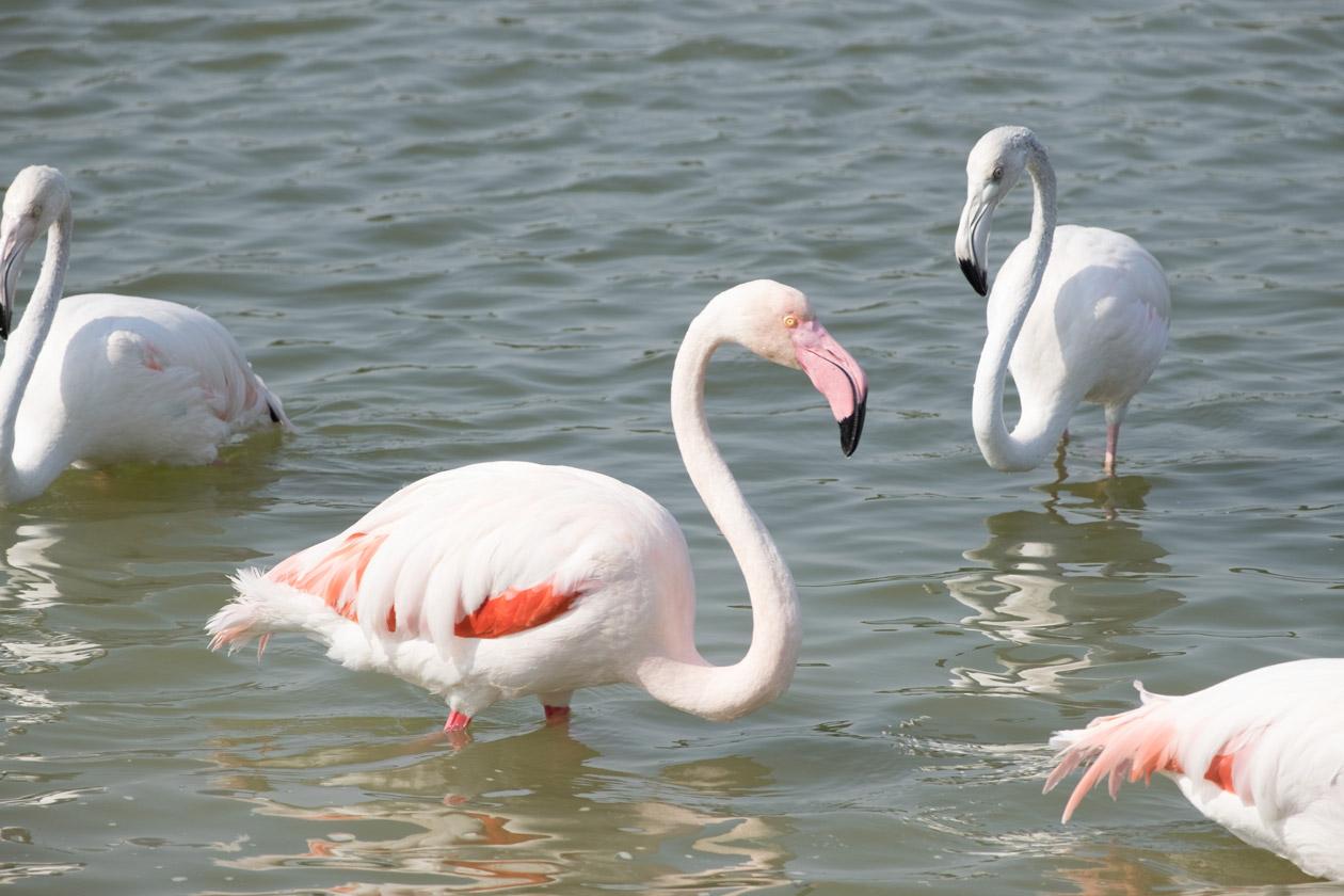 A pink flamingo next to a paler bird
