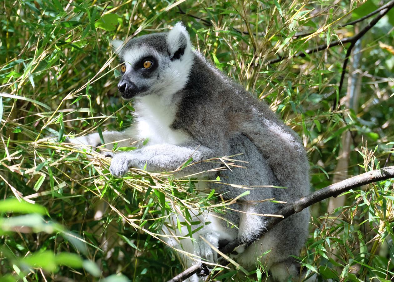 A lemur at Monkey World