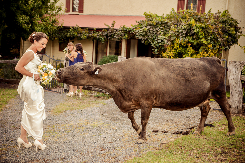 Wedding Photography at Adelaide Hills Country Cottages and a Cow