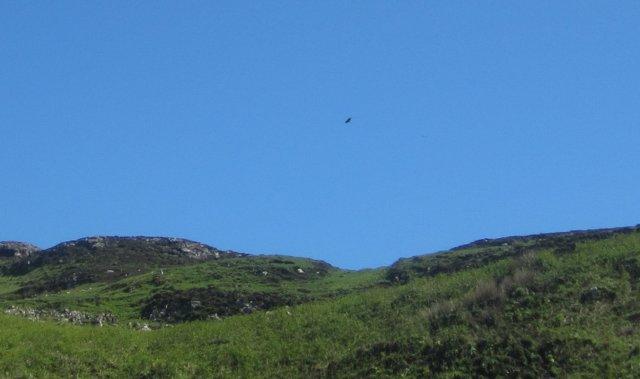 Sea Eagle above Ulva