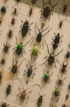 Beetles at the American Museum of Natural History
