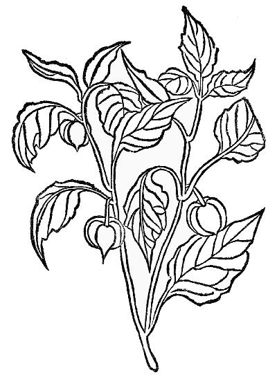 Herbals, Their Origin and Evolution, Agnes Arber