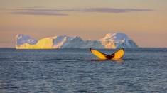 Whalewatching vor Eisberg in Grönland