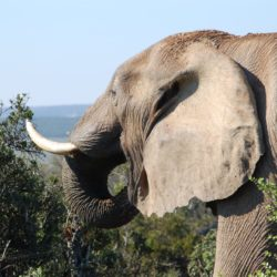 HelloAdventure.co.za – Photo of an elephant eating vegetation on a safari tour South Africa