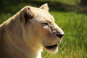 Nyanga, die weisse Löwin