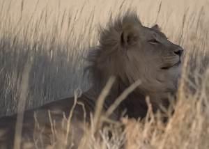 Auob-Lions