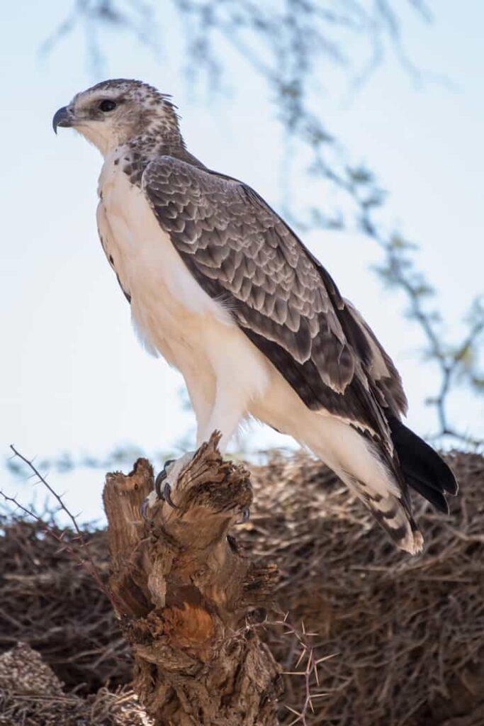 Martial Eagle – Kampfadler