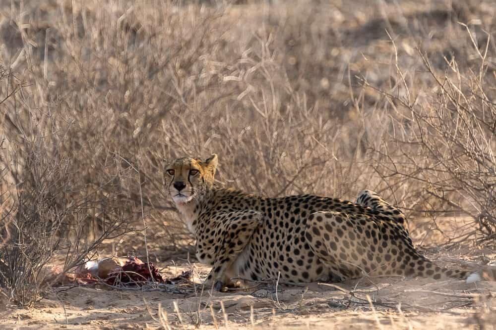 Gepard mit einem Kill