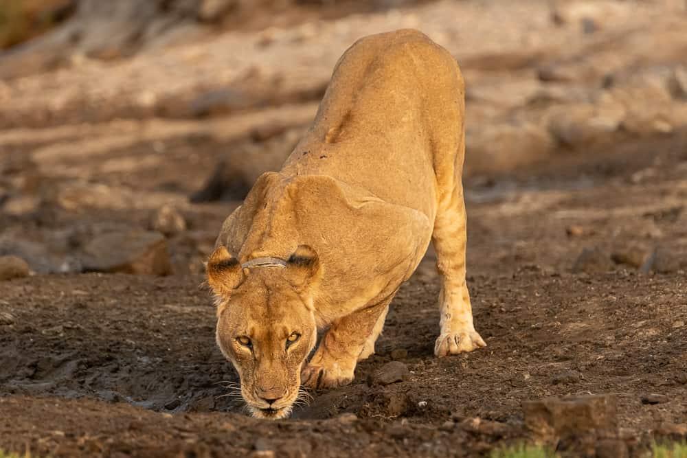 Desert Lions im Damaraland