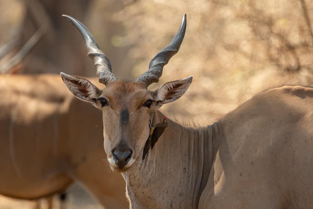 Eland-Antilope