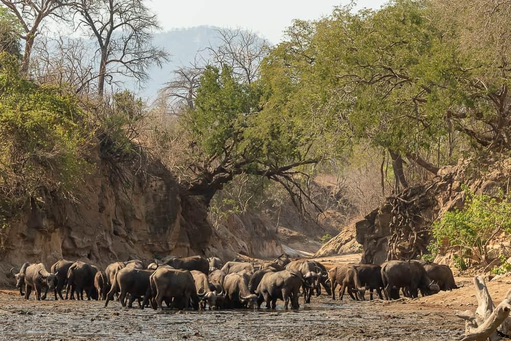 Noch mehr Büffel