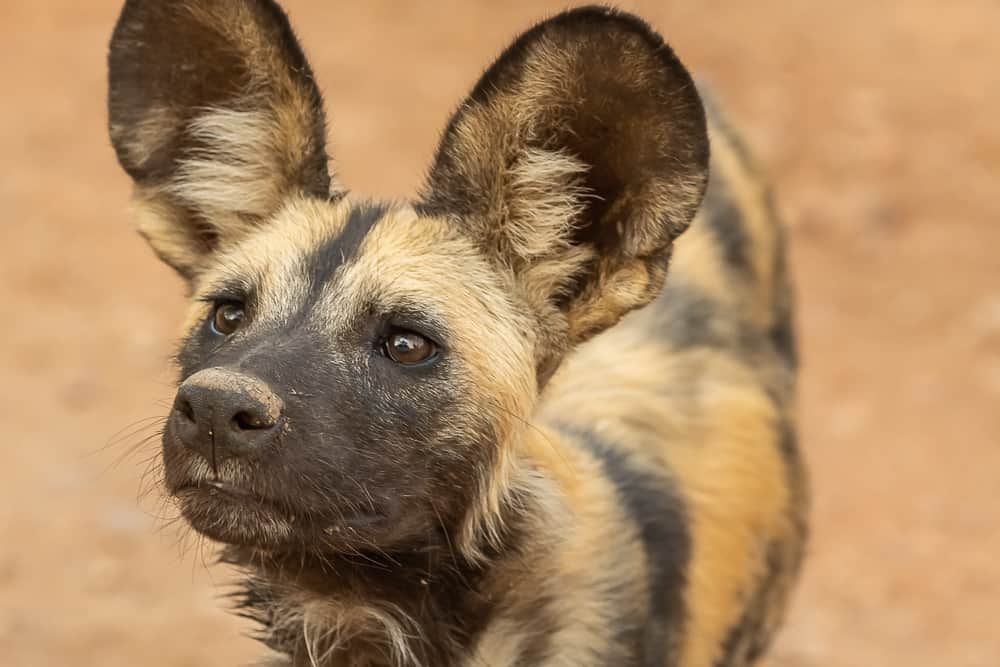 Wild Dogs im South Luangwa