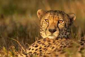 Geparde im Zimanga Game Reserve