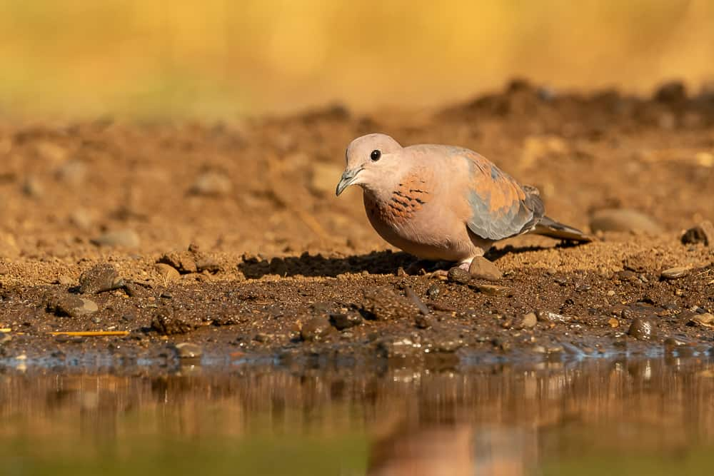 Dove at Tamboti Overnight Hide