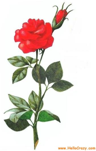 WwwHelloCrazycom A Rose For You