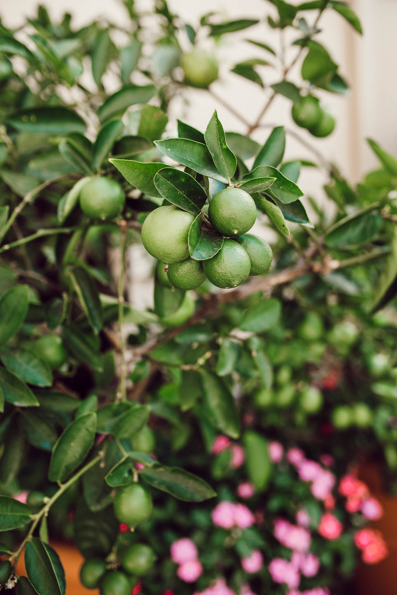 beverly wilshire lime tree