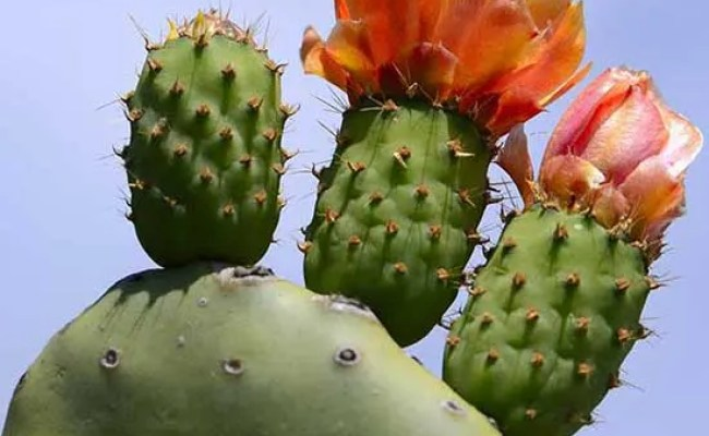 How To Reap The Beauty Benefits Of A Cactus Plant