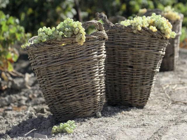 Traditionell werden Weidenkörbe für die Weinlese benutzt.