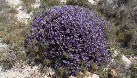 Botánica a la valenciana: el coixí de monja