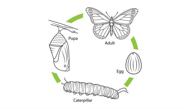 Metamorfosis De La Mariposa Para Colorear