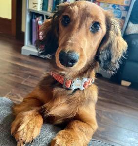 pets-of-hempoffset-rchie-dachshund
