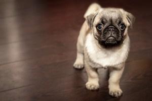 Small Dogs thrive on CBD and Hemp Oil Extract from Hemp Oil Rockstar