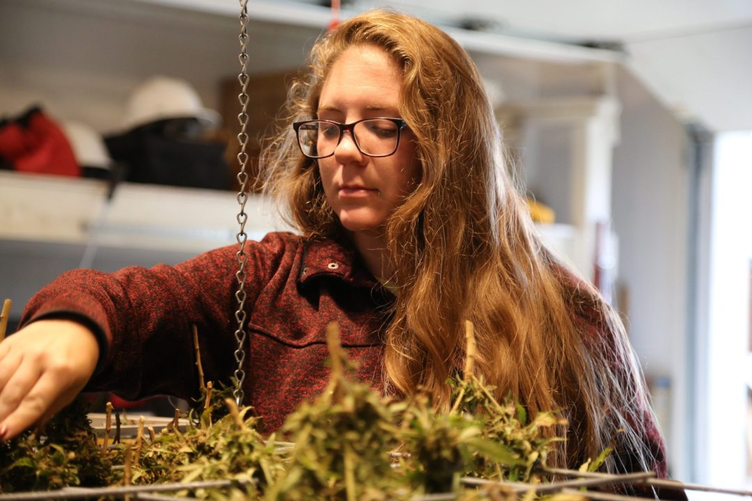 Cassie hanging plants for curing after harvest.