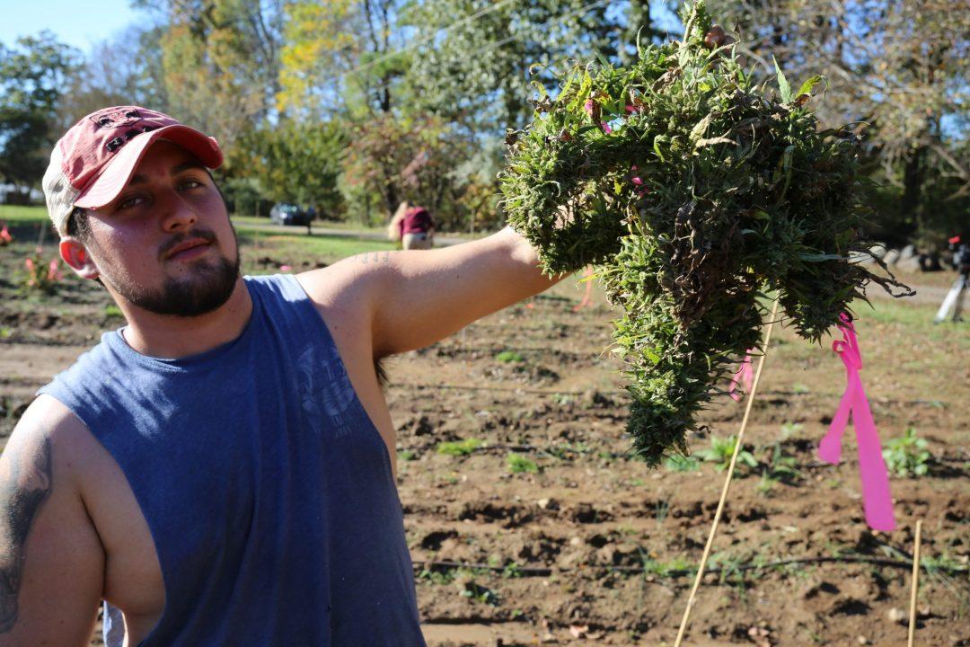 Dante showing off a beautiful organically grown hemp plant!