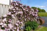 Clambering clematis along the garden fence