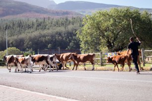 These cattle were being herded past while I was taking the photographs of the housing protest in Suurbraak